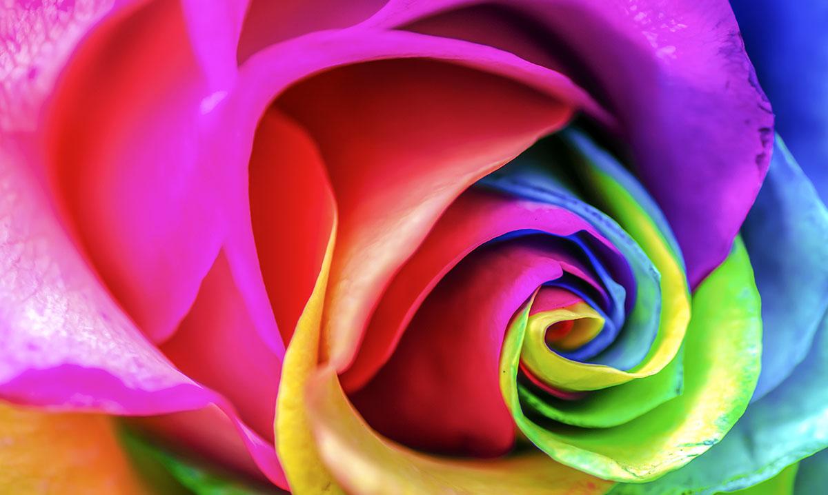 Trandafirii curcubeu, află informații interesante despre această floare